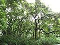 Starr-090618-1128-Aleurites moluccana-grove-Honomanu Hana Hwy-Maui (24965719215).jpg
