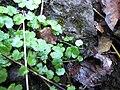 Starr-090702-2013-Hydrocotyle sibthorpioides-habit-Chings Pond Hana Hwy-Maui (24341454393).jpg