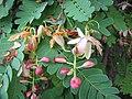 Starr-090720-2970-Tamarindus indica-flowers-Waiehu-Maui (24943679516).jpg