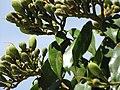 Starr-090720-3207-Hymenaea courbaril-flower buds and leaves-West Main Wailuku-Maui (24877064451).jpg