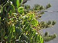 Starr-090721-3288-Dimocarpus longan-fruit and leaves-Wailuku-Maui (24877198951).jpg