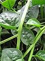 Starr-090806-3821-Basella alba-leaves-Wailuku-Maui (24340773664).jpg