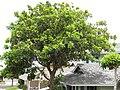 Starr-090806-3962-Cupaniopsis anacardioides-habit-Wailuku-Maui (24945361486).jpg