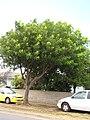 Starr-090806-4047-Pterocarpus indicus-habit-Kahului-Maui (24341229434).jpg