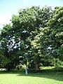 Starr-091104-0801-Aleurites moluccana-habit with Forest-Kahanu Gardens NTBG Kaeleku Hana-Maui (24360762743).jpg
