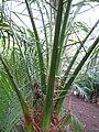 Starr-110209-0650-Phoenix roebelenii-spines-Resort Management Group Nursery Kihei-Maui (24443569624).jpg
