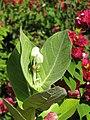Starr-110215-1267-Calotropis gigantea-leaves and flower buds-KiHana Nursery Kihei-Maui (24708320539).jpg