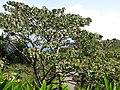 Starr-110330-4196-Ochroma pyramidale-habit-Garden of Eden Keanae-Maui (24454522323).jpg