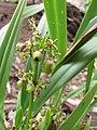 Starr-110411-5034-Dianella sandwicensis-fruit form lavarum-Hawea Pl Olinda-Maui (24787029380).jpg