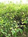 Starr-110722-7324-Clidemia hirta-thicket-Waihee Ridge Trail-Maui (25007592941).jpg