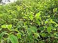 Starr-110722-7325-Clidemia hirta-thicket-Waihee Ridge Trail-Maui (25100891965).jpg