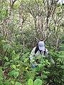 Starr-110924-9248-Clidemia hirta-habit with Kim-Makamakaole-Maui (25020923731).jpg
