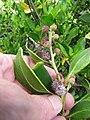 Starr-120412-4590-Conocarpus erectus-fruit and leaves-Waihee Coastal Preserve-Maui (24512450533).jpg