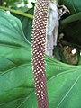 Starr-120522-6011-Anthurium sp-inflorescence-Iao Tropical Gardens of Maui-Maui (24515139993).jpg