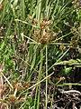 Starr-130702-5449-Cyperus polystachyos-seedhead-Kealia Pond-Maui (24591877983).jpg