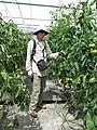 Starr-150326-1655-Solanum lycopersicum-fruiting with Forest-Hydroponics Greenhouse Sand Island-Midway Atoll (24971943350).jpg