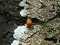 Starr-180421-0021-Thespesia populnea-with ladybird beetle-Honolua Lipoa Point-Maui (43458513981).jpg