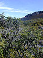 Starr 031001-0090 Sophora chrysophylla.jpg