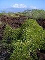 Starr 040513-0005 Canavalia pubescens.jpg