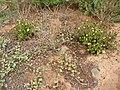 Starr 041102-0371 Portulaca molokiniensis.jpg