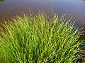 Starr 050128-3312 Cyperus laevigatus.jpg