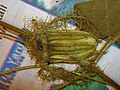 Starr 050427-0923 Passiflora foetida.jpg