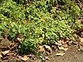 Starr 050517-1580 Peperomia blanda.jpg