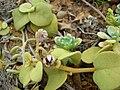 Starr 050519-6852 Solanum nelsonii.jpg