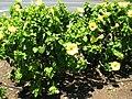 Starr 060820-8622 Hibiscus rosa-sinensis.jpg