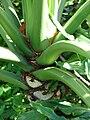 Starr 070123-3641 Philodendron bipinnatifidum.jpg