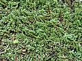 Starr 070515-7068 Ludwigia palustris.jpg