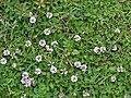 Starr 070815-8048 Phyla nodiflora.jpg