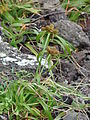 Starr 080314-3443 Cyperus phleoides.jpg
