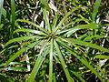 Starr 080602-5478 Cyperus involucratus.jpg