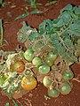 Starr 080815-9775 Solanum lycopersicum var. lycopersicum.jpg