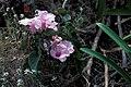 Starr 980529-4288 Ipomoea carnea subsp. fistulosa.jpg