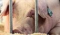 State Fair Animals (7816624440).jpg