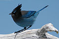 Stellar's Jay at Crater Lake.JPG