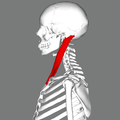 Sternomastoid muscle lateral.png