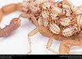 Striped Bark Scorpion (Buthidae, Centruroides vittatus (Say)) (36072006294).jpg