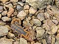 Striped Scorpion.jpg