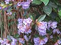Strobilanthes Kunthiana - Neelakurinji at Mannavan Shola, Anamudi Shola National Park, Kerala.jpg