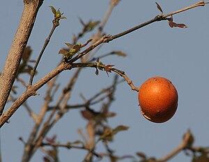 Loganiaceae - Strychnos nux-vomica