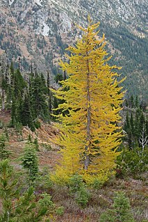 Larch genus of plants
