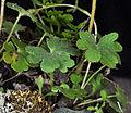 Suksdorfia violacea 4.jpg