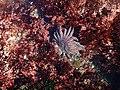 Sun flower sea star in tide pools 2.jpg