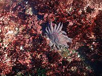 Sun flower sea star in tide pools 2.jpg