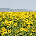 Sunflowers - panoramio (4).jpg