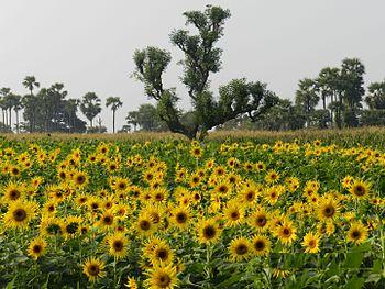 Sunflowers Everywhere.jpg