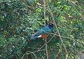 Superb Starling. Lamprotornis superbus - Flickr - gailhampshire (1).jpg